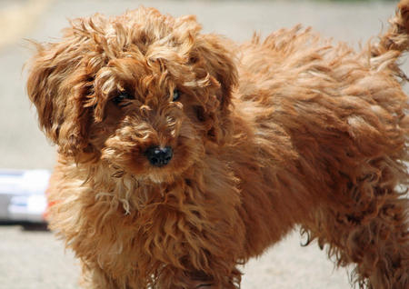 ginger-the-poodle-mix-1_75348_2014-07-31_w450.jpg