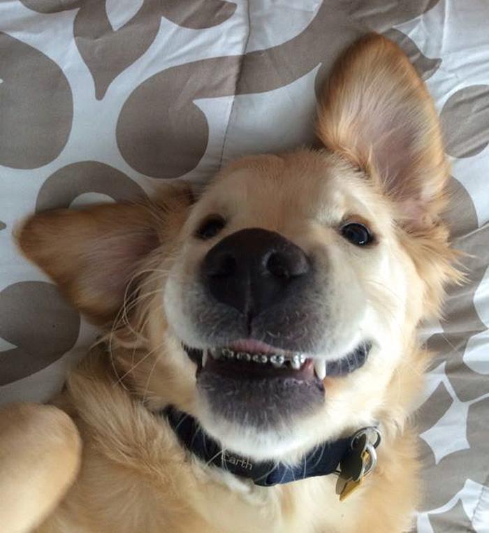 dog-braces-golden-retriever-teeth-problems-wesley-molly-moore-14.jpg