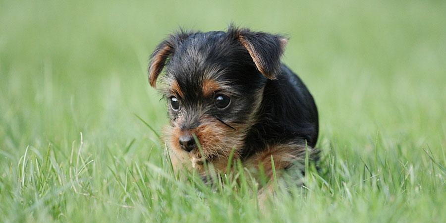 Yorkshire-Terrier-3.jpg