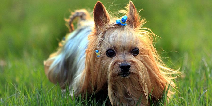 Yorkshire-Terrier-2.jpg