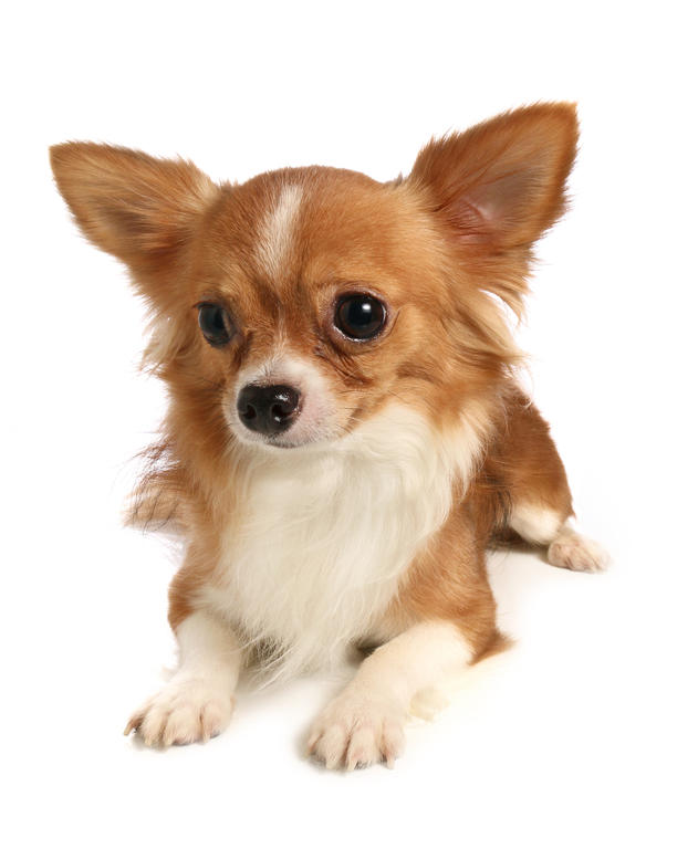 Dog-Chihuahua-A_beautiful_long_haired_chihuahua_lying_down.jpg