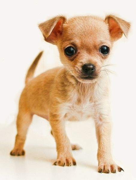 brown-teacup-chihuahua.jpg