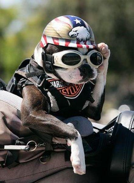 harley-davidson-dog.jpg