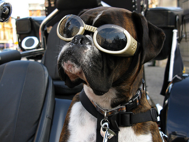doggle dog dogs in sunglasses 2.jpg