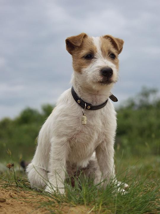 image6_Jack-Russell-Terrier.jpg