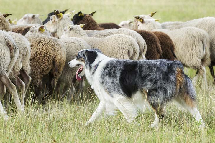 Australian-Shepherd_Adult_Herding.jpg