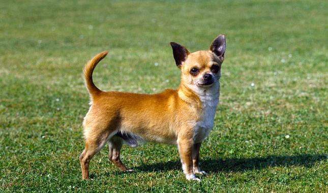 Chihuahua-AP-KIDP62-645lc061113.jpg