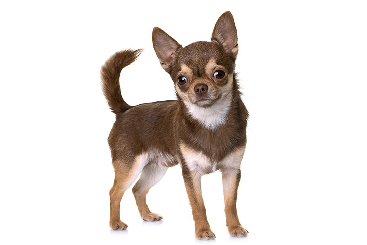 Chihuahua-standing-in-three-quarter-view.jpg