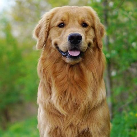 golden-retriever-dog-breed-info.jpg