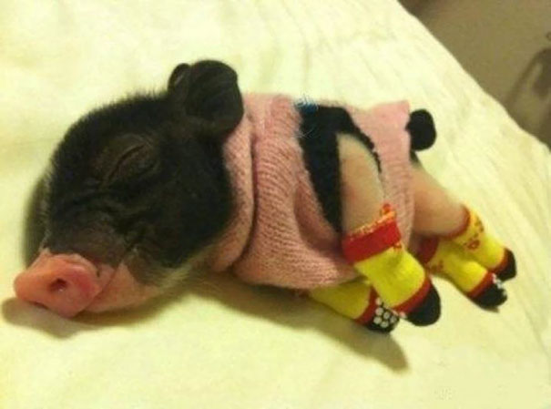 cute-animals-wearing-tiny-sweaters-6-57ff4f775330d__605.jpg